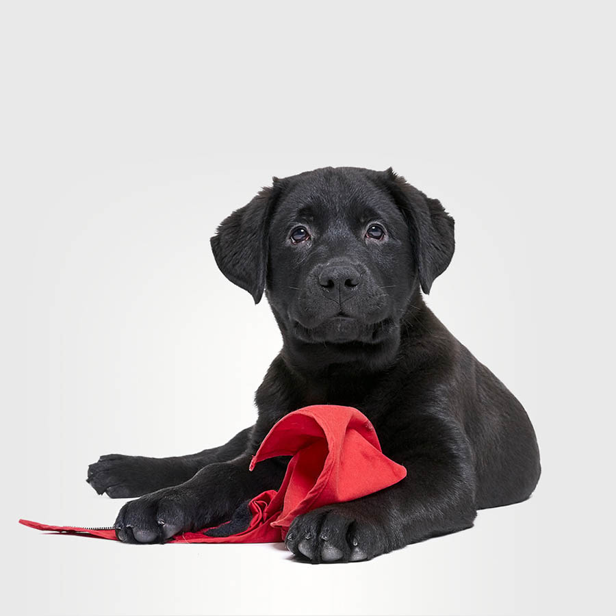 This Labrador puppy is called Max and he is 3 months old.