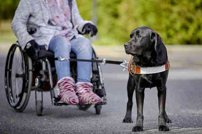 A service dog walks with his wheelchair mistress